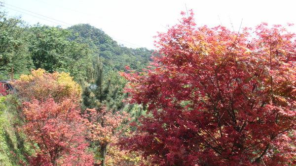 台北奧萬大賞楓(槭)